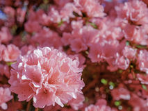 Розовые азалии колоколов коралла стоковое фото rf
