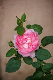 Розовые английские розы Стоковая Фотография