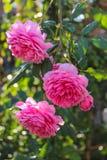 Розовые английские розы Стоковое фото RF