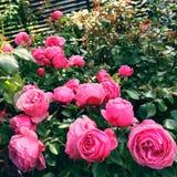 Розовые античные розы стиля в саде Стоковая Фотография RF