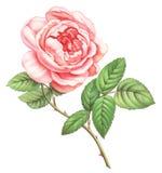 Розовые белые винтажные цветки роз изолированные на белой предпосылке Покрашенная иллюстрация акварели карандаша иллюстрация вектора