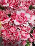 Розовые белые гвоздики Стоковые Изображения RF