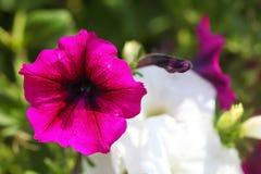 Розовые белые заводы цветка петуньи в саде. Стоковые Изображения