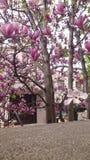 Розовые белые магнолии Стоковое Изображение