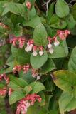 Розовые белые цветения salal Стоковые Изображения RF