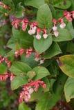 Розовые белые цветения salal Стоковое Фото