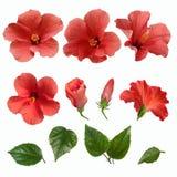 Розовые бутоны и листья цветков гибискуса Стоковые Изображения