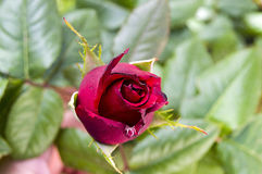Розовые бутоны подготовленные для того чтобы раскрыть весной сезон, самые красивые розовые изображения бутона Стоковое фото RF
