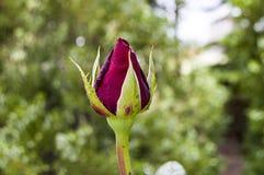 Розовые бутоны подготовленные для того чтобы раскрыть весной сезон, самые красивые розовые изображения бутона Стоковые Изображения