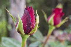 Розовые бутоны подготовленные для того чтобы раскрыть весной сезон, самые красивые розовые изображения бутона Стоковые Изображения RF