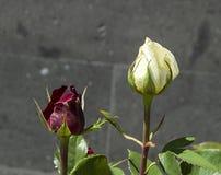 Розовые бутоны подготовленные для того чтобы раскрыть весной сезон, самые красивые розовые изображения бутона Стоковые Фотографии RF