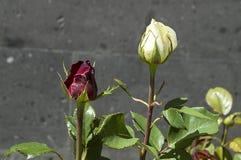 Розовые бутоны подготовленные для того чтобы раскрыть весной сезон, самые красивые розовые изображения бутона Стоковая Фотография