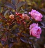 Розовые бутоны цветка с падениями росы в солнце стоковые изображения