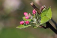 Розовые бутоны цветка стоковая фотография