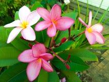 Розовые венки лист, pinkplumerias, templetree стоковая фотография rf