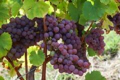 Розовые виноградины в винограднике Франции Стоковое Изображение RF