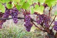 Розовые виноградины в винограднике Франции Стоковая Фотография