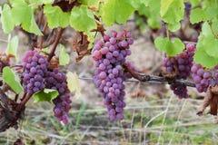 Розовые виноградины в винограднике Франции Стоковое фото RF
