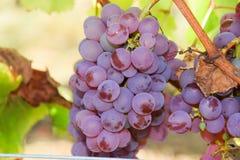 Розовые виноградины в винограднике Франции Стоковое Фото