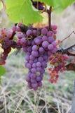 Розовые виноградины в предпосылке виноградника Франции Стоковая Фотография RF
