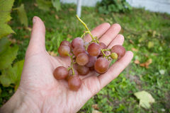 Розовые виноградины в руках Стоковые Изображения