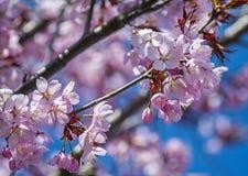 Розовые вишневые цвета весной Стоковые Изображения