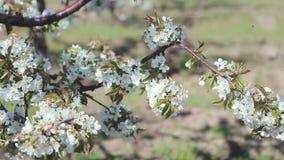 Розовые вишневые цвета двигая дальше ветреный день сток-видео