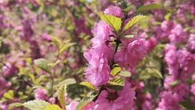 Розовые вишневые цвета