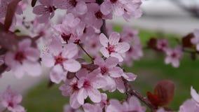 Розовые вишневые цвета полностью цветене Предпосылка Сакуры сток-видео
