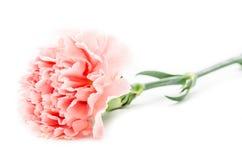 Розовые гвоздики на белизне Стоковая Фотография