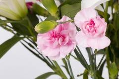 Розовые гвоздики Стоковая Фотография