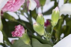 Розовые гвоздики Стоковые Изображения RF