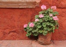 Розовые гераниумы в баке стоковое фото rf