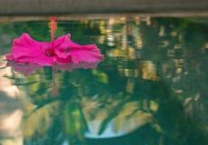Розовые гибискусы цветут плавать в бассейн, отражение в воде, фокусе в центре  цветка стоковая фотография rf