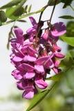розовые глицинии Стоковые Изображения RF