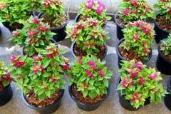 Розовые горшечные растения на рынке Стоковое Изображение RF