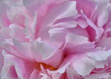 Розовые лепестки пиона Стоковое фото RF