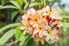 Розовые желтые цветки frangipani plumeria на дереве Стоковые Изображения