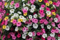 Розовые, желтые и белые петуньи Стоковое фото RF
