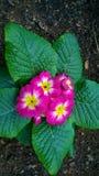Розовые желтые и белые цветки Стоковое фото RF