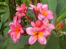 Розовые желтые цветки Plumeria, frangipani Стоковое Изображение