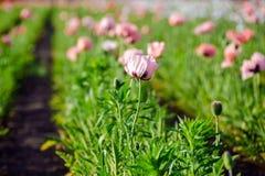 Розовые заводы мака в поле Мичигана стоковые фото