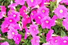Розовые заводы цветка петуньи в саде Стоковое Фото