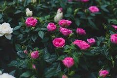 Розовые зацветая розы в саде Стоковые Изображения RF