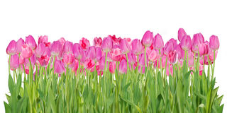Розовые изолированные цветки тюльпана Стоковые Фото