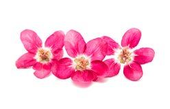 розовые изолированные цветки яблока Стоковая Фотография RF
