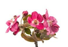 розовые изолированные цветки яблока Стоковые Фото