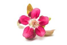 розовые изолированные цветки яблока Стоковое Фото