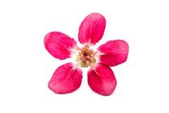 розовые изолированные цветки яблока Стоковая Фотография
