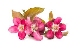 розовые изолированные цветки яблока Стоковое фото RF